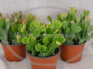 4 size Christmas Cactus : Whitton Greenhouses, Christmas and ...
